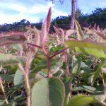 wilson-mudas-eucalipto-citriodora